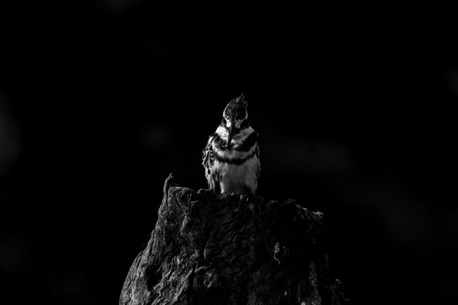 Thomas Retterath | Pied Kingfisher