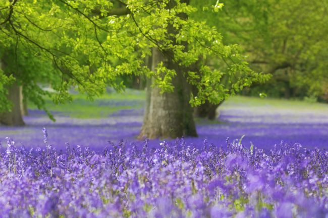 Terri Waters | Bluebell Wood