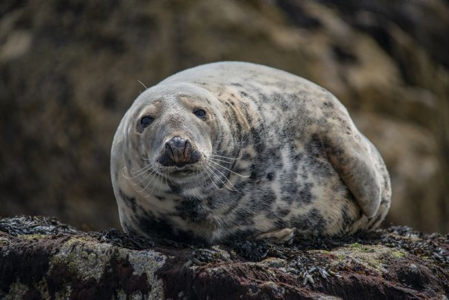 david siggens | Farne island grey Seal