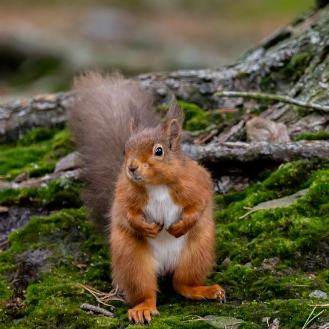 Mark Ingleby | Red Squirrel