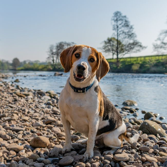 Mark Ingleby | Beagle