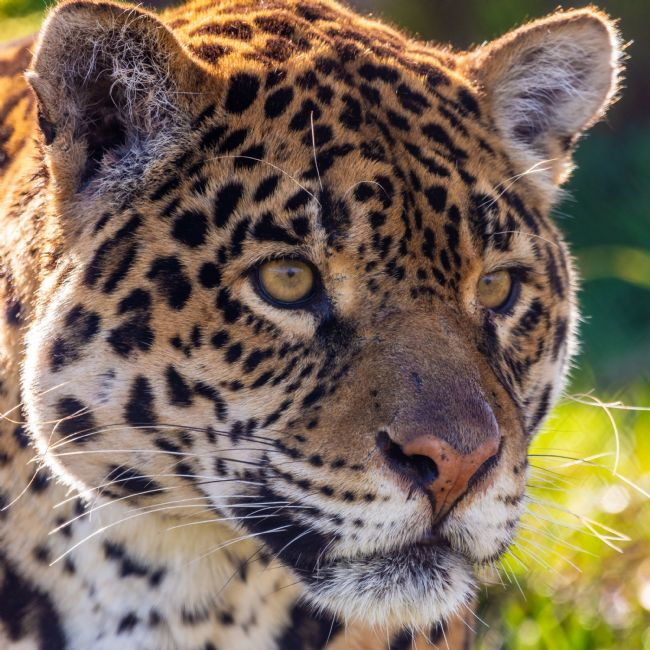 Mark Ingleby | Jaguar Stare