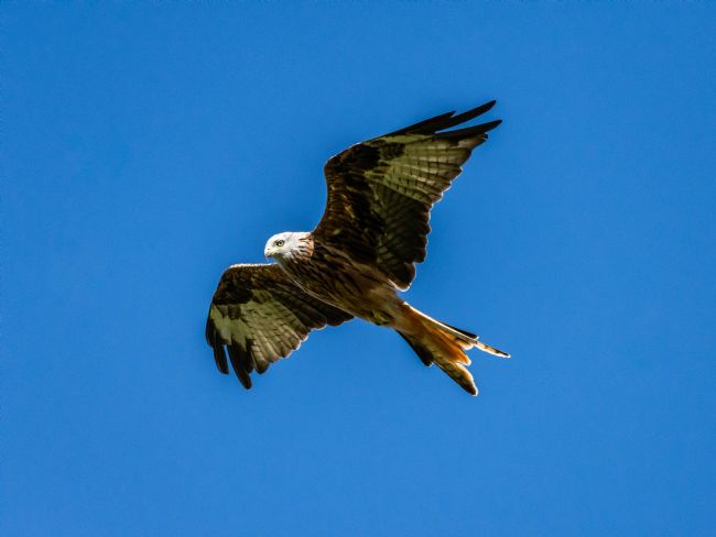 Mark Ingleby | Red Kite