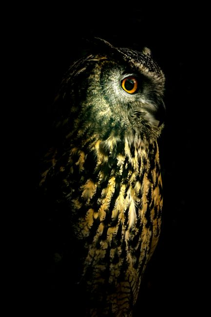 richard sayer | Eagle Owl