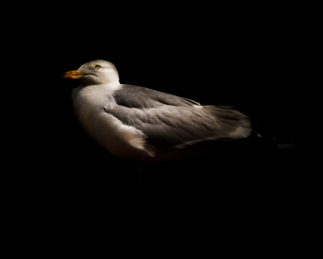 richard sayer | Herring Gull Portrait