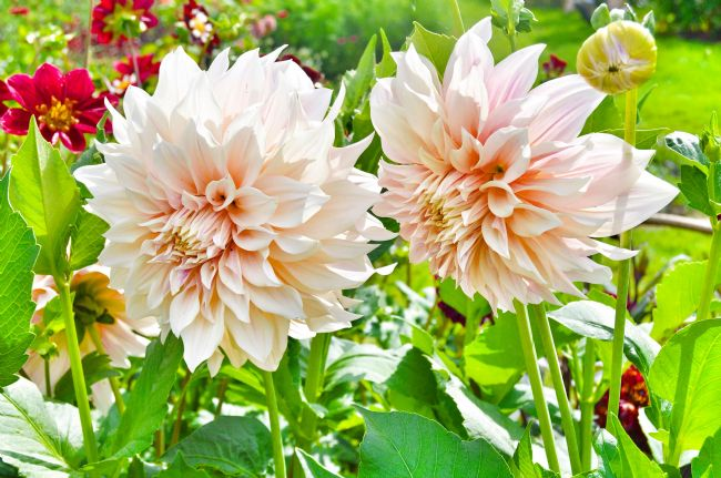Jessica Sims | Peach Dahlia Flowers, Blickling Hall Norfolk