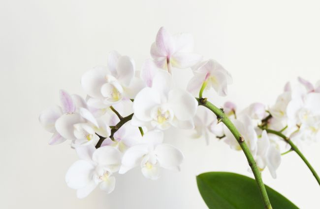 Jessica Sims | White Orchid