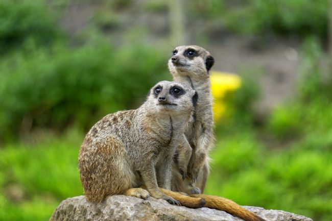 Simon Hark | Meerkat Watch