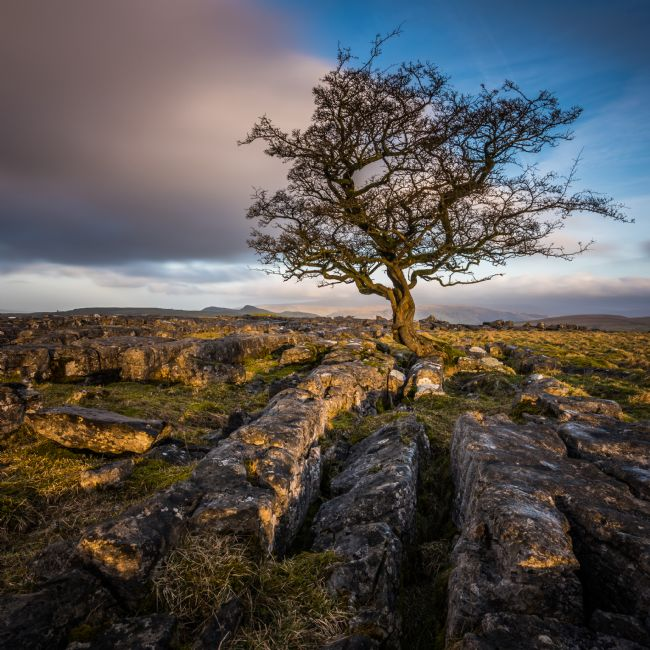 George Robertson | Weathered hawthorn 1tree