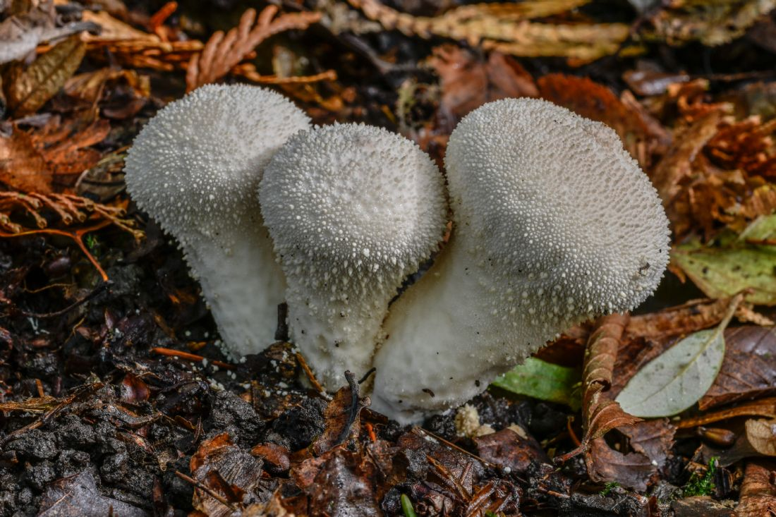 Mike Carroll | Common Puffballs