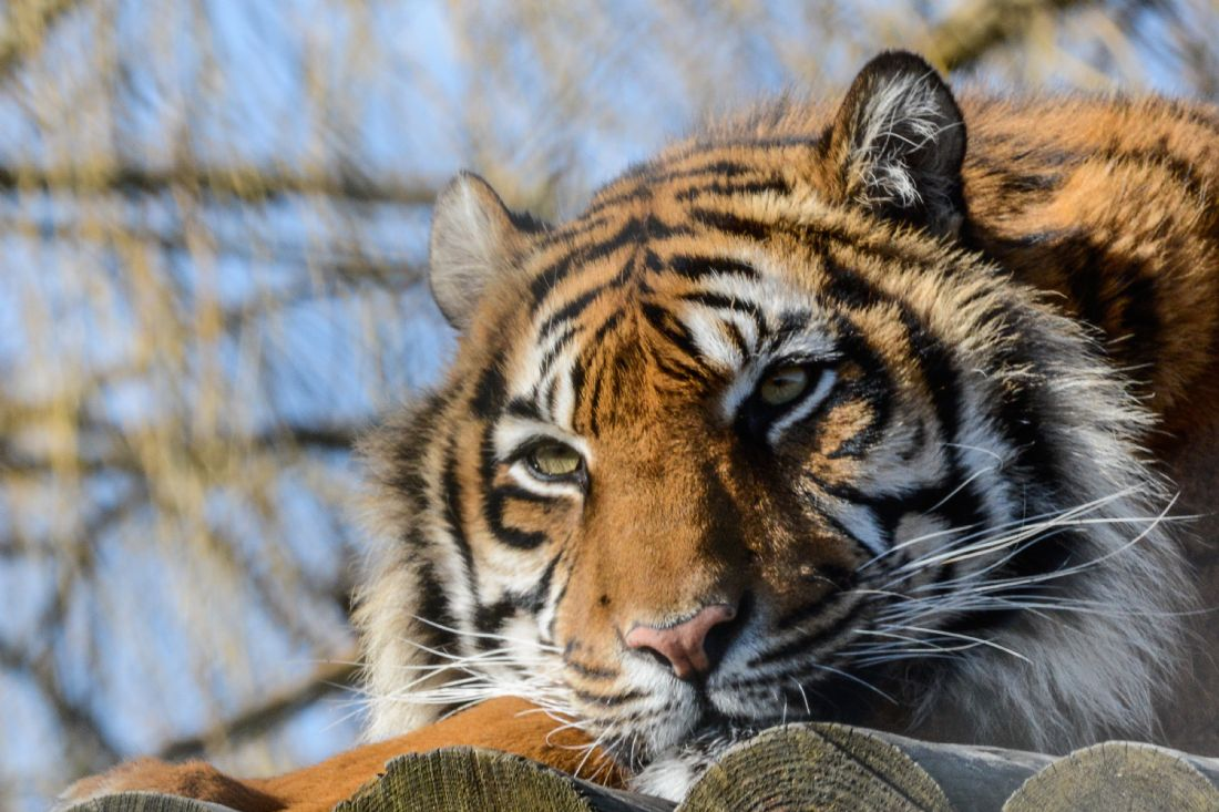 Mike Carroll | Watchful Tiger