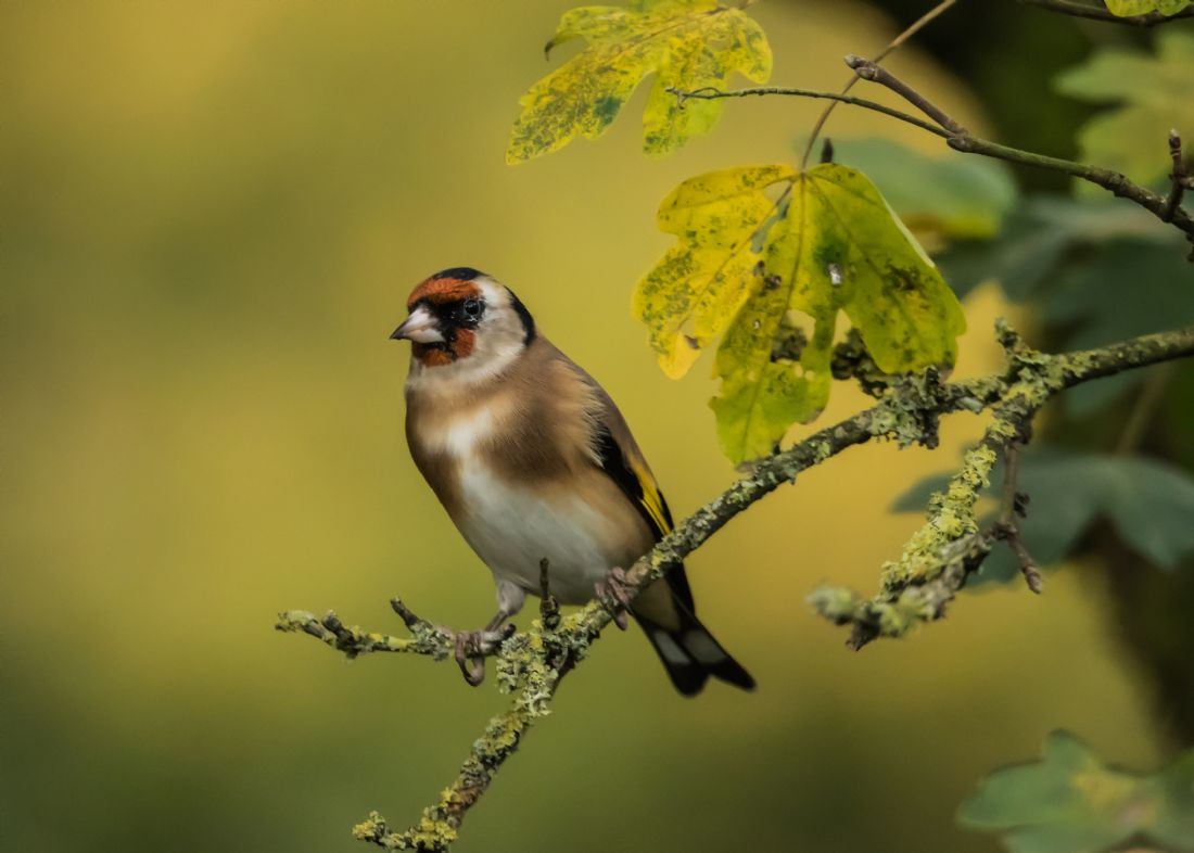 Mike Carroll | Gorgeous Goldfinch