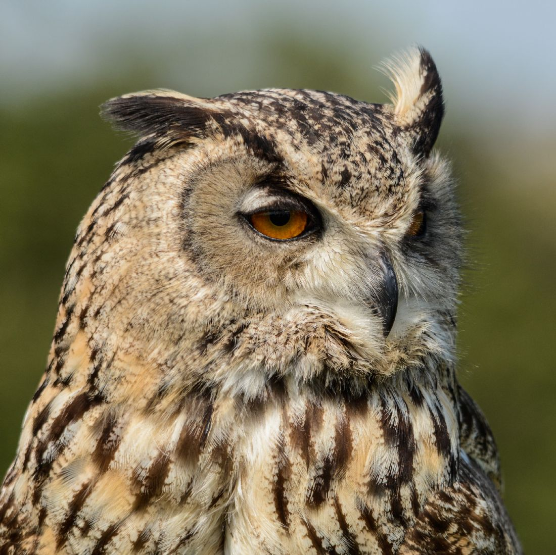 Mike Carroll | Turkmenian Eagle Owl Close-up