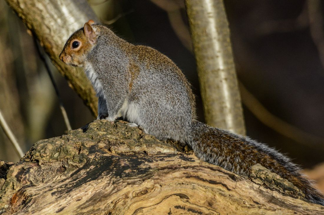 Mike Carroll | Grey squirrel in winter