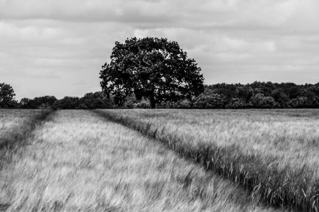 Mike Carroll | Oak Tree in the Barley