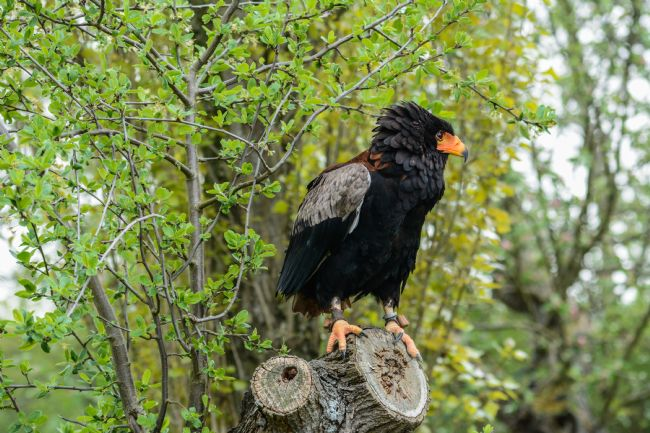 Mike Carroll | Bateleur Eagle