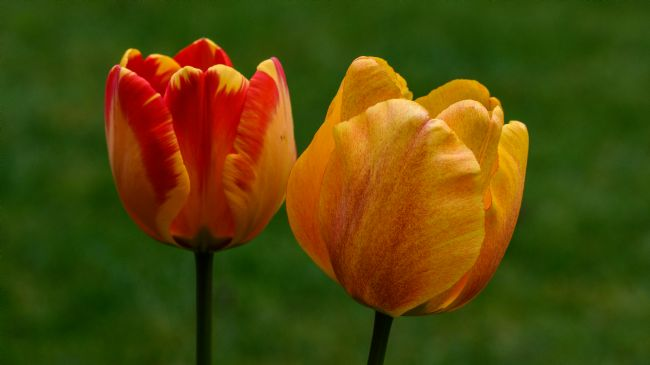 Mike Carroll | Tulips from Amsterdam
