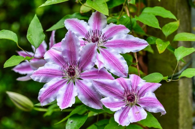 Mike Carroll | Clematis Flowers
