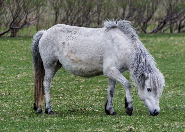 Mike Carroll | Iceland Pony