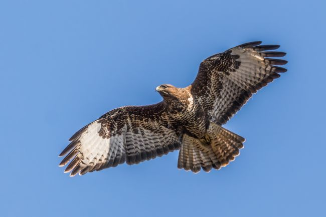 Mike Carroll | Magnificent Buzzard