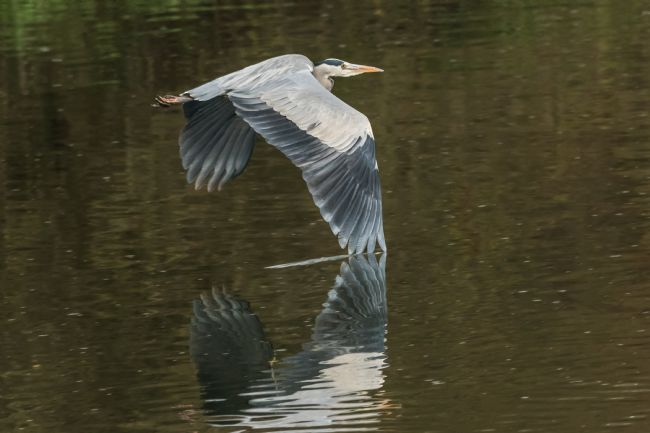 Mike Carroll | Low flying Heron