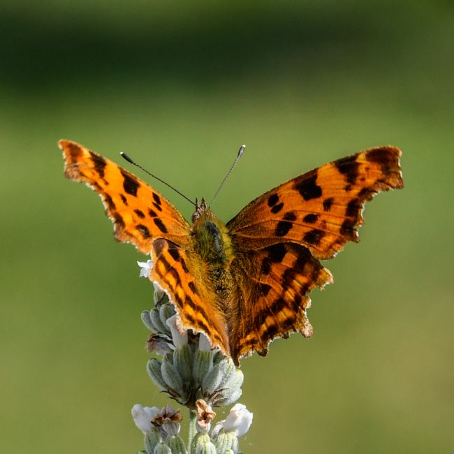 Mike Carroll | Comma Butterfly (2)
