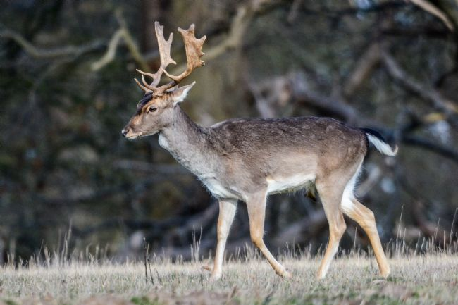 Mike Carroll | Fallow Deer Stag