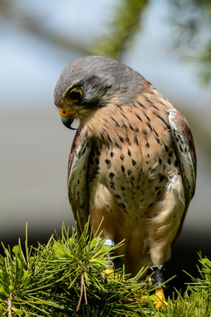 Mike Carroll | Male Common Kestrel