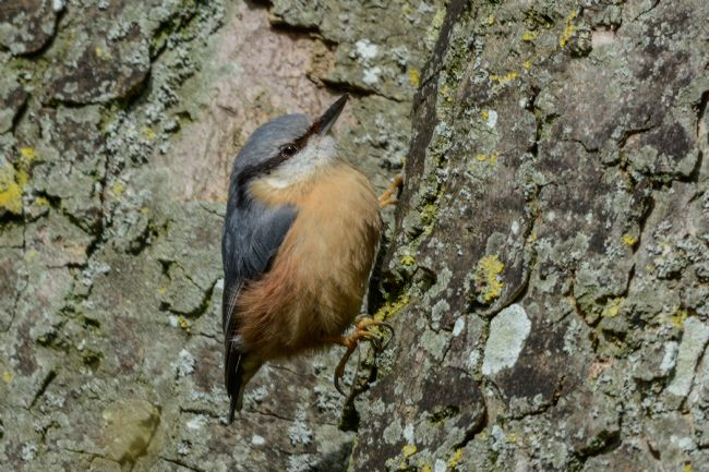 Mike Carroll | Nuthatch