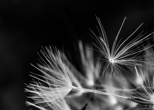 Mike Carroll | Dandelion seeds black and white