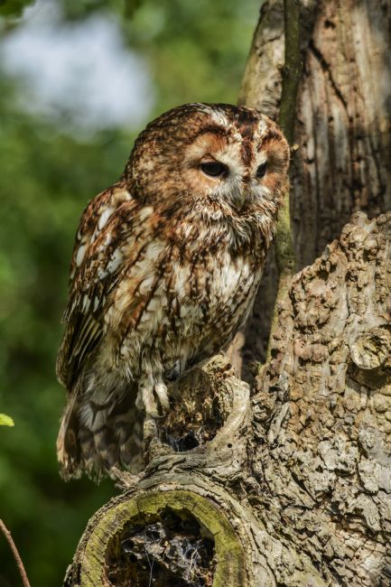 Mike Carroll | Tawny Owl