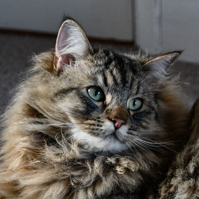 Mike Carroll | Scout - Maine Coon Cross Cat