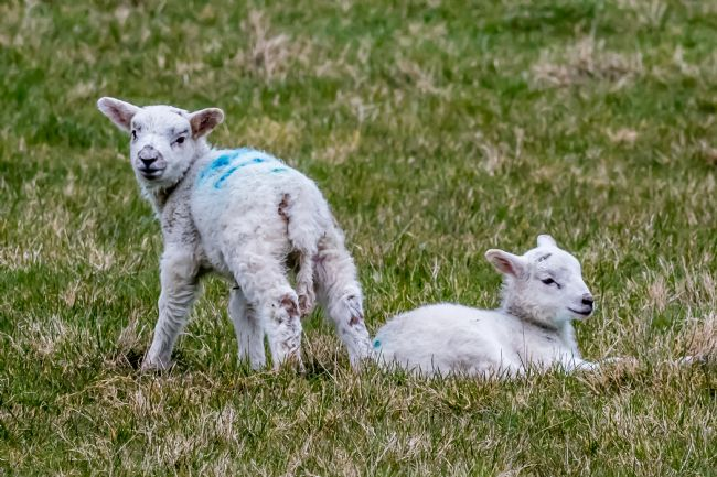 Mike Carroll | Spring Lambs