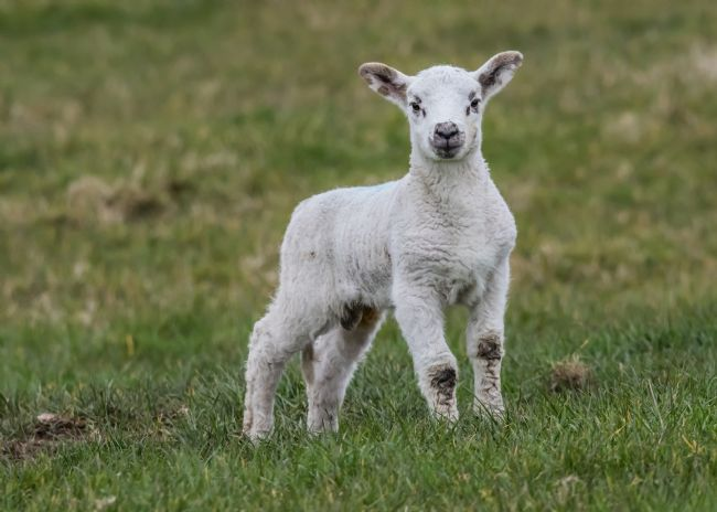 Mike Carroll | Spring lamb