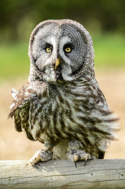 Mike Carroll | Great Grey Owl