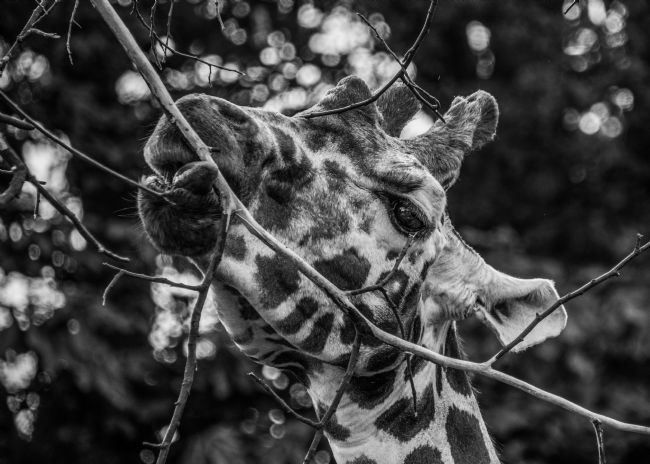 Mike Carroll | Giraffe dinner time