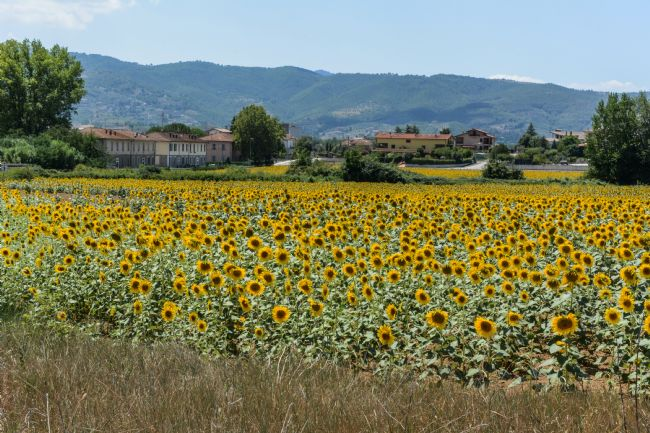 Mike Carroll | Umbrian Sunflowers