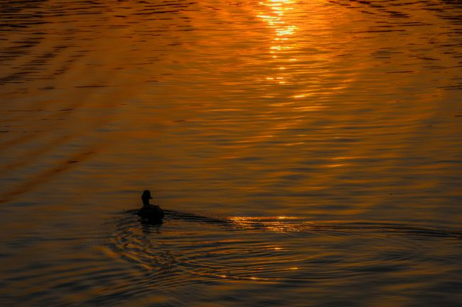 Mike Carroll | Lone Duck at Sunset