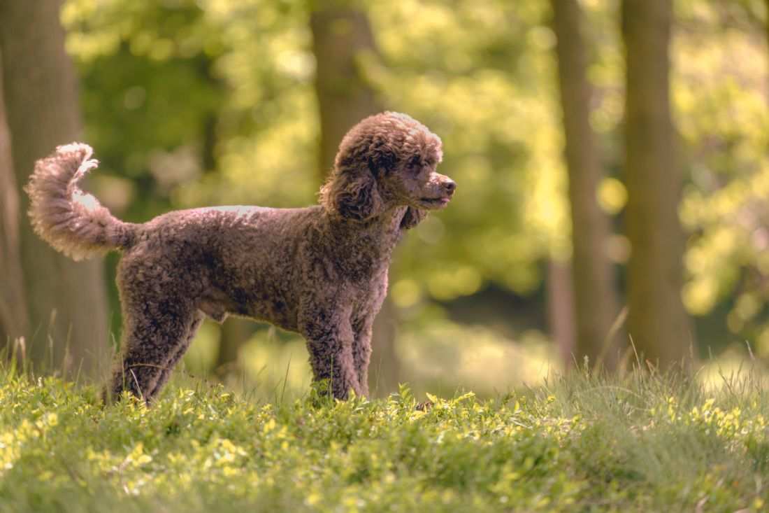 Mark Stinchon | Miniature Poodle in the Woods