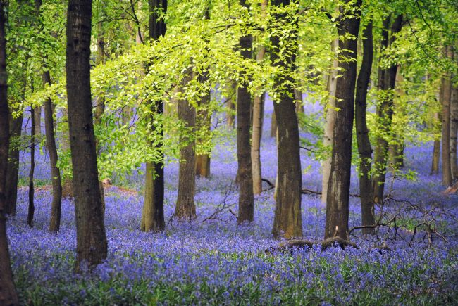 Graham Carnduff-Youngg | Ashridge Bluebells