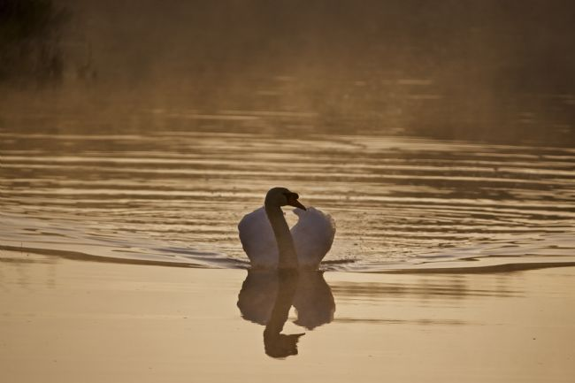 Simon Rigby | Morning Swan