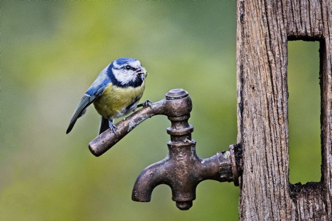 Simon Rigby | Blue Tit on tap