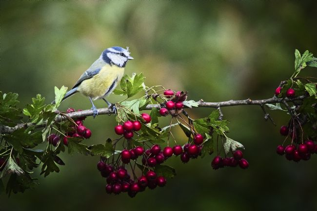 Simon Rigby | Blue tit on hawthorn