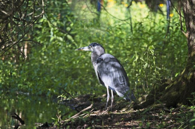 Simon Rigby | Heron in dappled shade