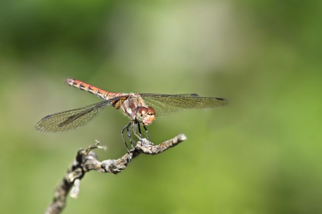 Simon Rigby | Common Darter Dragonfly