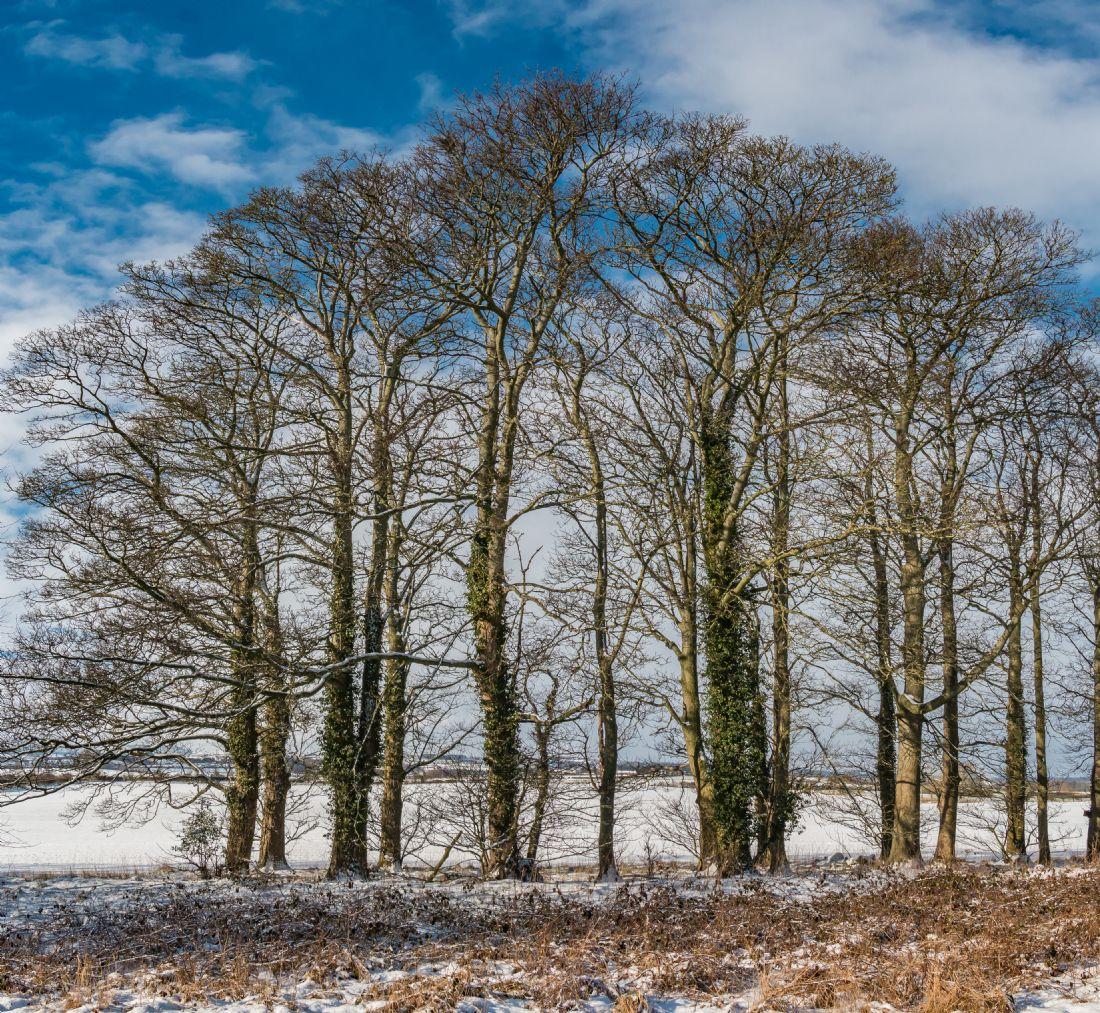 Richard Laidler | Winter Sycamores at Wycliffe