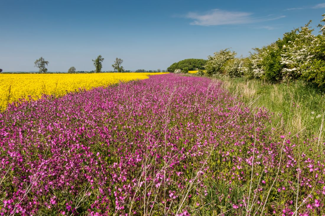 Richard Laidler | Yellow Rape and Pink Campion
