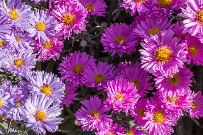 Richard Laidler | Pink and Blue Asters