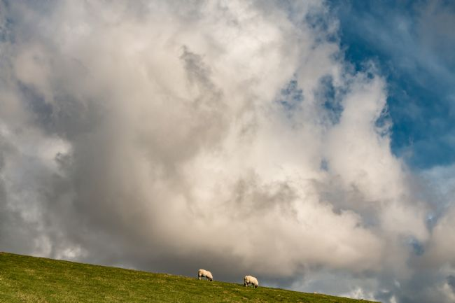 Richard Laidler | Sheep May Safely Graze