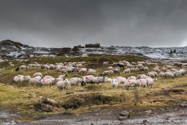 Richard Laidler | Winter Sheep Feeding at Coldberry, Teesdale